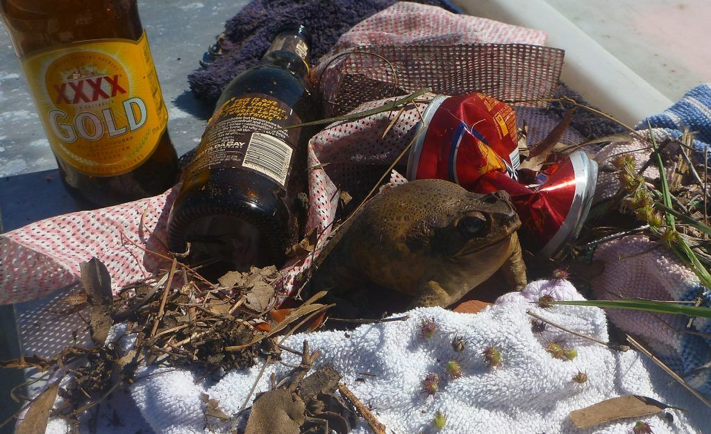 A large toad found in marine debris