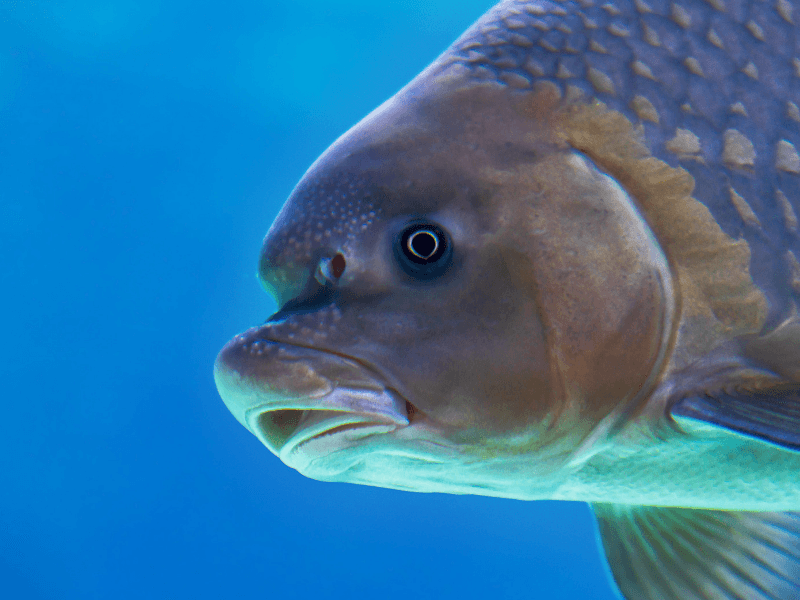 A close up image of a fish in blue water