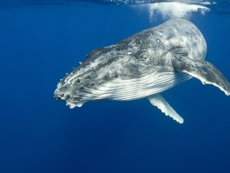 A large humpback whale underwater image