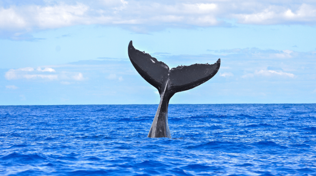 whale breaching in the Whitsundays