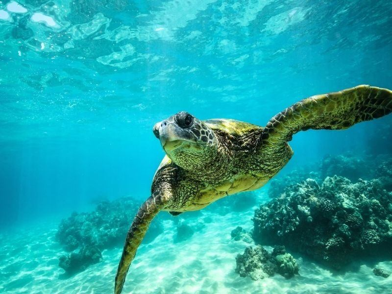 Turtle in a bright clear ocean